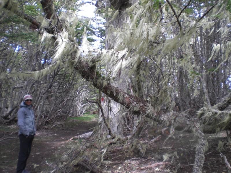 bewachsener Baum im Forestal Magallanes