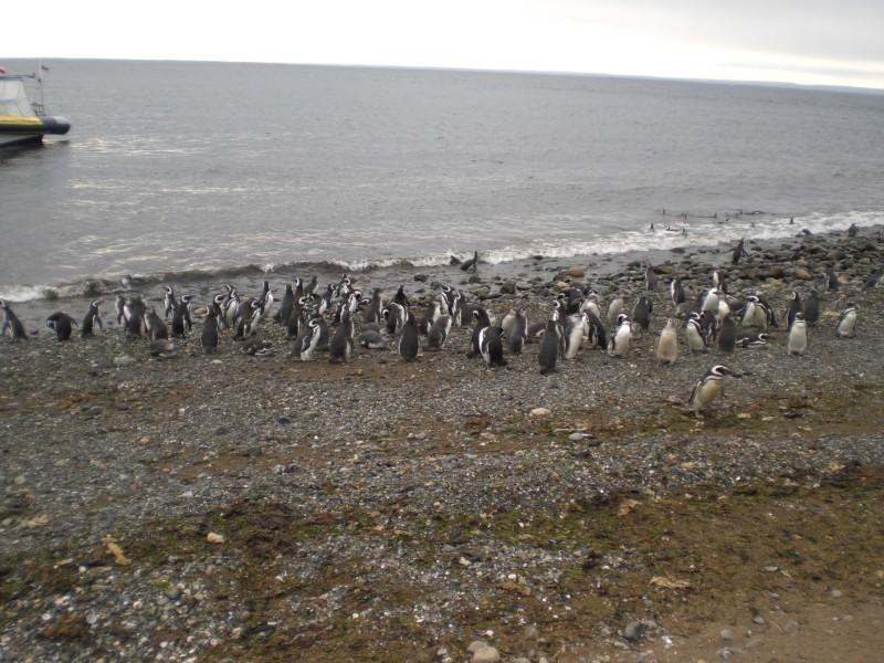 Isla Magdalena, Pinguinkolonie